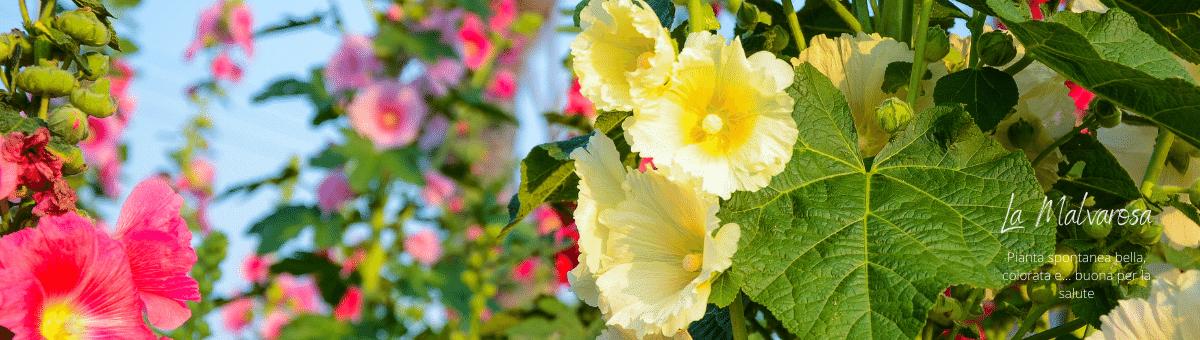 Camera Malvarosa-il fiore