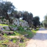 Stradine di campagna, ulivi secolari salentini